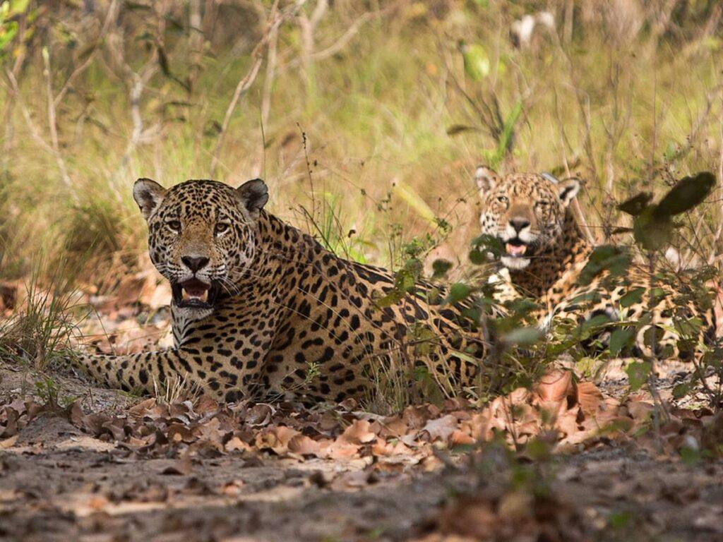 Onças descansam na frente dos turistas no Refúgio Caiman. Foto: Visit Pantanal